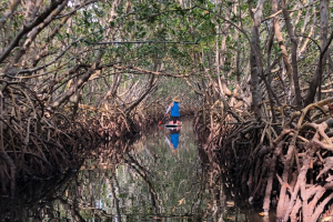 Red mangroves line the paddling trail at Weedon Island Preserve.